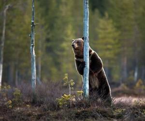 brown bear image
