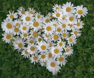 flowers, daisy, and heart image