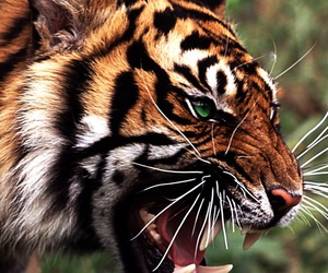 dope and tiger image