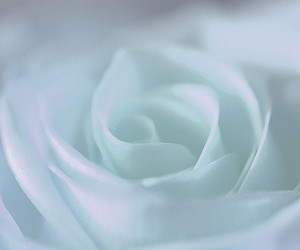 bloom, blossom, and blue rose image