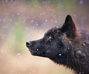 blackandwhite, black, and wolf image