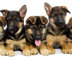 baby animals, german shepherd, and cute animals image