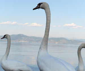 nature and swans image