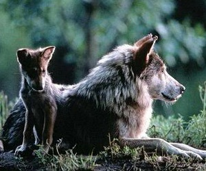 wolves and baby wolf image