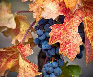 autumn, grapes, and fall image