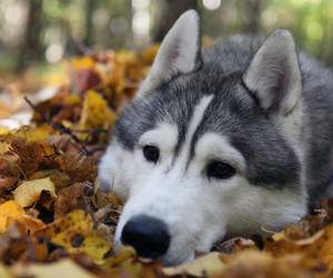 dog, husky, and autumn image