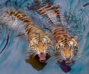 animals, india, and roar image