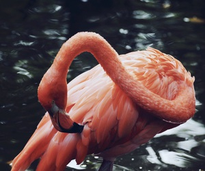 animal, flamingo, and beautiful image