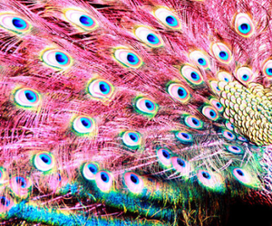 peacock, pink, and feather image