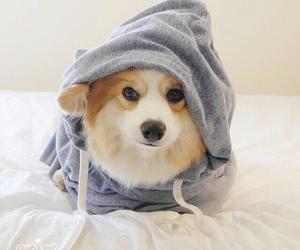 adorable, hoodie, and corgi image
