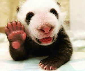 panda, baby, and animal image