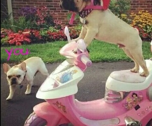 dog, pug, and pink image