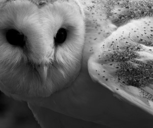 owl and black and white image