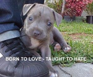 dog and pit bulls image