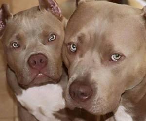 pit bulls image