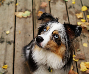 dog, australian shepherd, and cute image