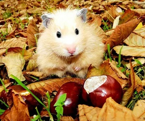 cute, hamster, and autumn image