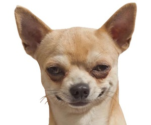 dog, funny, and chihuahua image