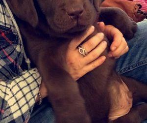 dog, puppy, and chocolate labrador image