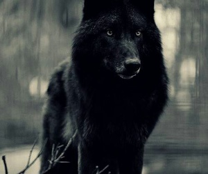 beautiful, black wolf, and forest image