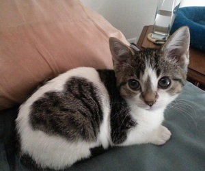 cat, cute, and heart image
