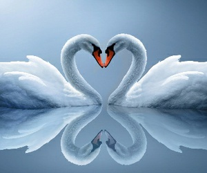 love, Swan, and heart image