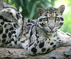 leopard, animal, and clouded leopard image