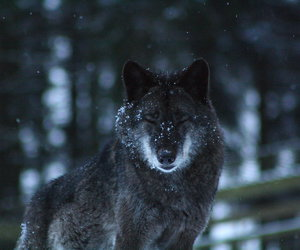 white, winter, and wolf image