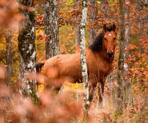 autumn, equine, and woods image
