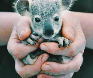cute, Koala, and animal image