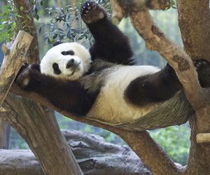 panda bear. image