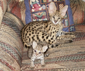 serval image