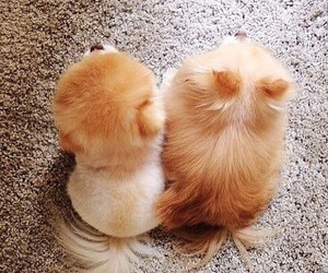 boo, pomeranians, and buddy image
