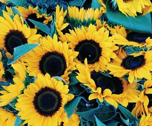 sunflower, flowers, and photo image