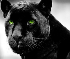 animal, panther, and black image