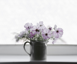 cosmos, flower, and indoor image