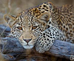 animal and big cats image