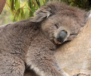 Koala and animal image