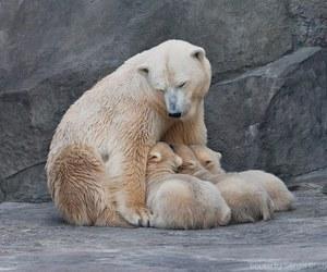 baby animals, cub, and bears image