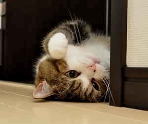 cat, cute, and maru image