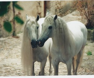 horses, two, and white image