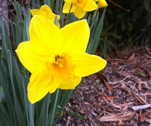 daffodils, flower, and spring image