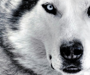 wolf, animal, and dog image
