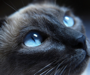 cat, blue, and animal image