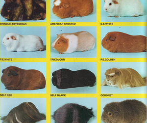 guinea pigs and omfg image