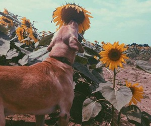 dog, sunflowers, and summer image