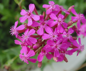 cluster, delicate, and pink image