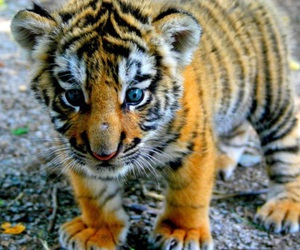cat and tiger cub image