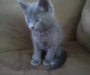cat, kitten, and russian blue image