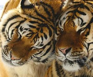 animal, tiger, and sweet image